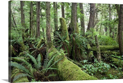Old-growth temperate rainforest, Vancouver Island, Cape Scott, Canada