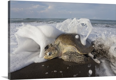 Olive Ridley Sea Turtle female coming ashore to lay eggs, Ostional Beach, Costa Rica