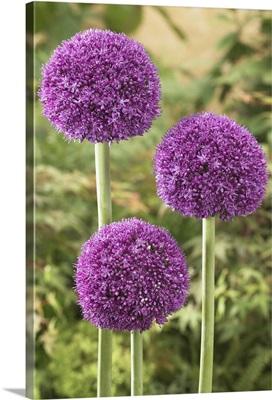Onion (Allium sp) ambassador variety flowers