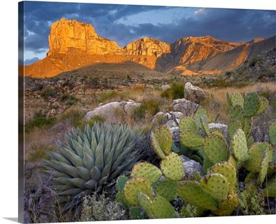 Opuntia cactus and Agave near El Capitan, Chihuahuan Desert, Texas