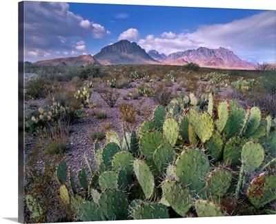 Opuntia cactus, Chisos Mountains, Big Bend National Park, Chihuahuan Desert, Texas