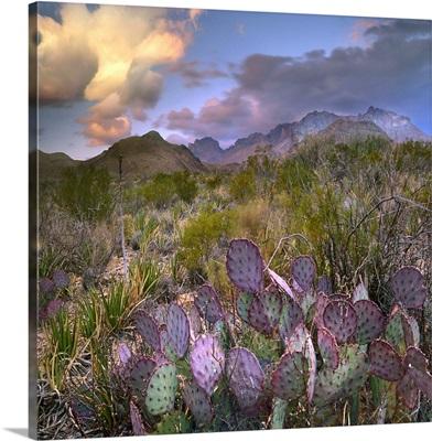 Opuntia (Opuntia sp) cactus, Chisos Mountains, Big Bend National Park, Texas