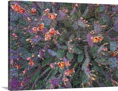 Opuntia (Opuntia sp) flowering, North America