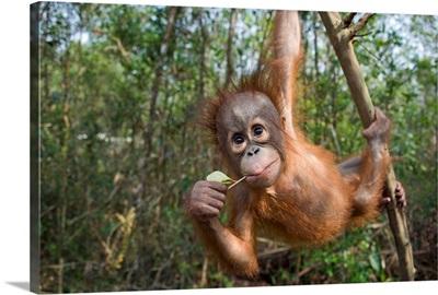 Orangutan infant playing in tree, Orangutan Care Center, Borneo, Indonesia