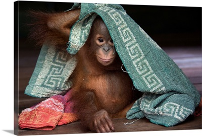 Orangutan infant playing with towel, Borneo, Indonesia