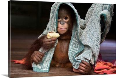 Orangutan playing with towel and holding banana, Borneo, Indonesia