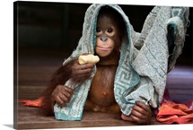 Orangutan playing with towel and holding banana, Borneo, Indonesia
