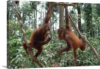 Orangutan (Pongo pygmaeus) pair playing in trees, Borneo