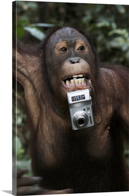 Orangutan (Pongo pygmaeus) with tourist's camera, Malaysia, Saba, Borneo