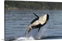 Orca (Orcinus orca) breaching along the Inside Passage, Alaska