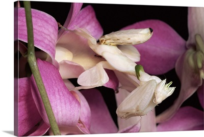Orchid Mantis (Hymenopus coronatus) and orchid flower, Malaysia