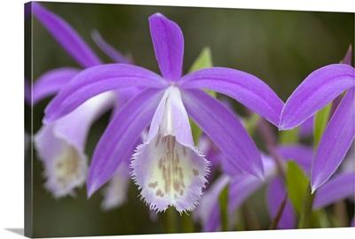 Orchid (Pleione formosana) flowers