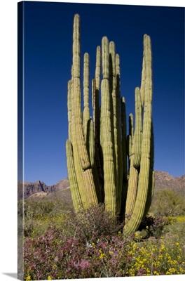 Organ Pipe Cactus, Arizona