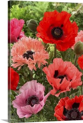 Oriental Poppy (Papaver orientale) flowers