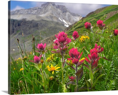 Paintbrush (Castilleja sp) flowers, Yankee Boy Basin, Colorado