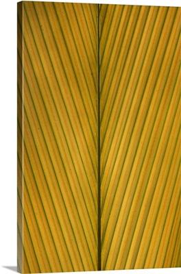 Palm Leaf showing midrib and veination, Yavari River, Amazon Basin, Peru