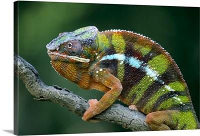 Panther Chameleon (Chamaeleo pardalis) male, Madagascar