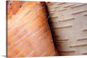 Paper Birch Bark Peeling Cape Breton Highlands National