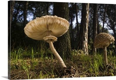 Parasol Mushrooms in forest, El Montseny Natural Park, Spain