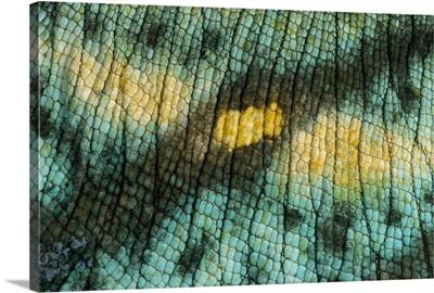 Parson's Chameleon (Chamaeleo parsonii) close up of skin of male, Madagascar