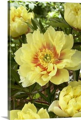 Peony (Paeonia sp) bartzella variety flowers