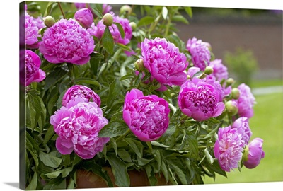 Peony (Paeonia sp) double pink variety flowers