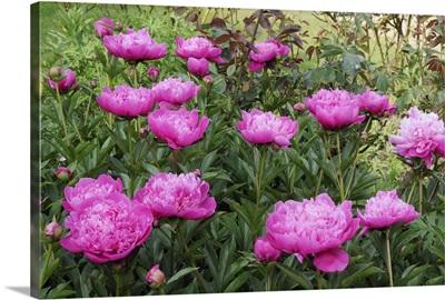 Peony (Paeonia sp) flowers