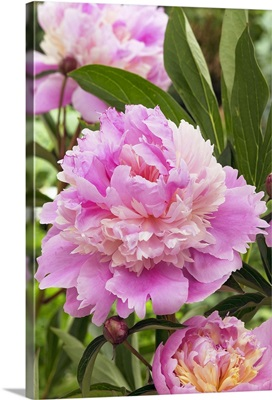 Peony (Paeonia sp) mme emile debatene variety flowers