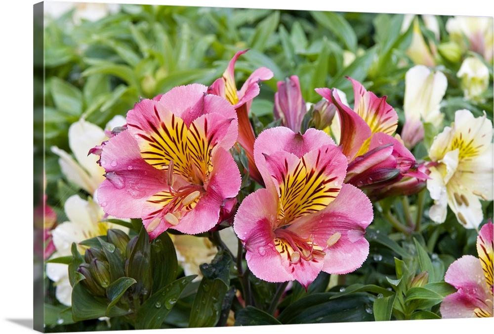 Peruvian Lily Alstroemeria Sp Princess Lilies Variety Flowers Wall Art Canvas Prints Framed Prints Wall Peels Great Big Canvas