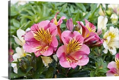 Peruvian Lily (Alstroemeria sp) princess lilies variety flowers