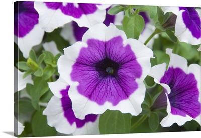 Petunia (Petunia sp) cascadia violet skirt variety flowers