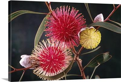 Pincushion Hakea flowers, native to southwest Australia