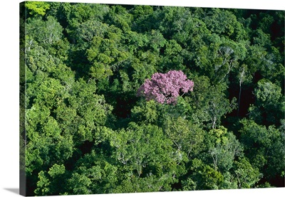 Pink flowering tree in rainforest canopy, Canaima National Park, Venezuela