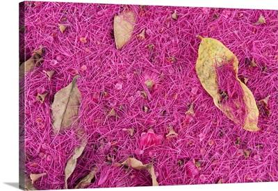 Pink petals carpet the forest floor, Coca, Amazon, Ecuador