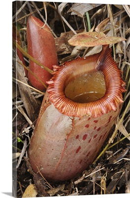 Pitcher Plant pitcher, Mount Guiting-Guiting, Sibuyan Island, Philippines