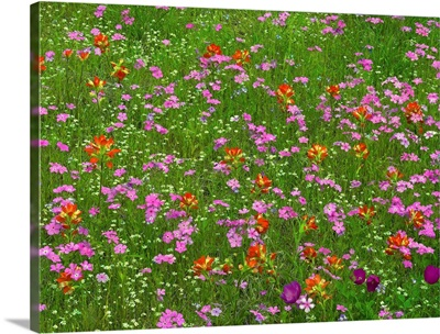 Pointed Phlox and Indian Paintbrushes in bloom, Hill Country, Texas