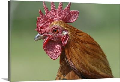 Portrait of a cockerel