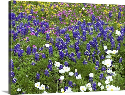 Prickly Poppy, Sand Bluebonnet, Pointed Phlox and Squaw-weed Hill Country, Texas