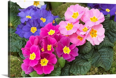 Primrose (Primula sp) flowers