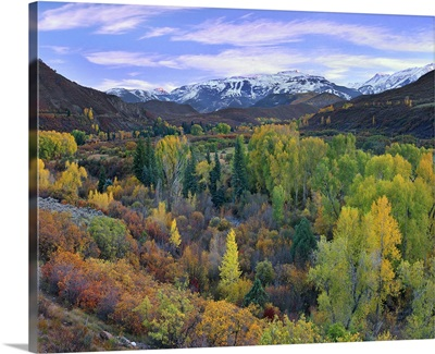 Quaking Aspen forest in autumn, Snowmass Mountain near Quaking Aspen, Colorado