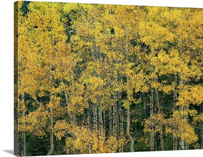 Quaking Aspen (Populus tremuloides) trees in fall, Maroon Bells, Colorado