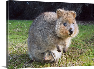 Quokka mother with joey in pouch, Rottnest Island, Perth, Western Australia, Australia