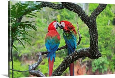 Red and Green Macaw pair courting, Buraco das Araras, Pantanal, Brazil