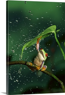Red-eyed Tree Frog in rain