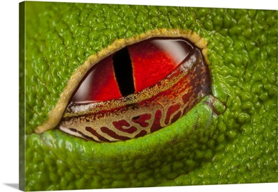 Red-eyed Tree Frog with semi-transparent eyelid, Costa Rica