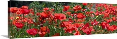 Red Poppy field, Europe