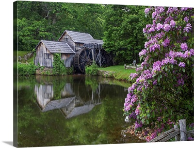 Rhododendron At Mabry Mill, A Restored Sawmill, Blue Ridge Parkway, Virginia