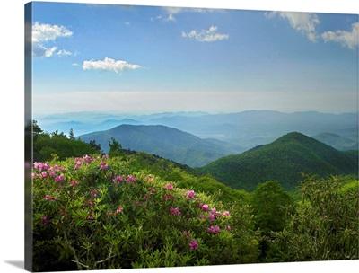 Rhododendron tree flowering, Blue Ridge Parkway, North Carolina