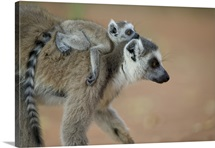 Ring-tailed Lemur baby riding on mother's back, vulnerable, Berenty Private Reserve