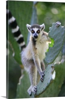 Ring-tailed Lemur eating Opuntia cactus
